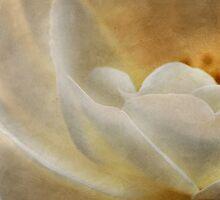 Candlelight rose by Celeste Mookherjee