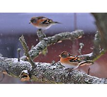 Bramblings in the snow Photographic Print