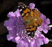 Meadow Argus Butterfly on a Granny's Pincushion by Gabrielle  Lees