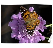 Meadow Argus Butterfly on a Granny's Pincushion Poster