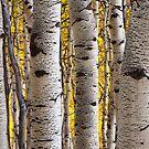 Aspen Trunks 2 by David Kocherhans