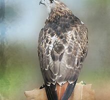 Red Tail Hawk by KathleenRinker