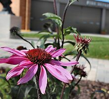 Tough Cone Flower by Keala