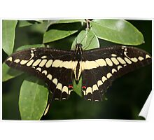 Yellow and Black Butterfly on a Leaf Poster