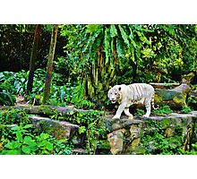 White Tigerrr Photographic Print