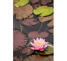 Lily in full bloom Photographic Print
