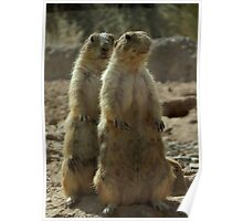 Black-tailed Prairie Dogs~ I got your Back! Poster
