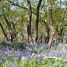 Drifts of Bluebells by Helen Greenwood