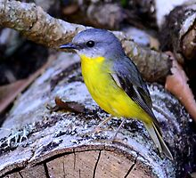 Eastern Yellow Robin by Leslie-Ann