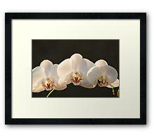 Three Orchids  Framed Print