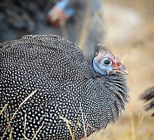 Guineafowl at sunset by Jennie  Stock