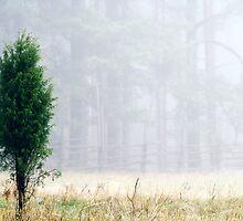 3.11.2013: Juniper Tree III by Petri Volanen