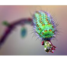 Saturnia pavonia caterpillar Photographic Print