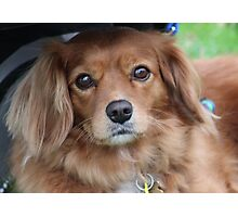 Brown fured dog Photographic Print