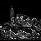 Diamonds in the Rough -  western diamondback rattlesnake by Heather Ward