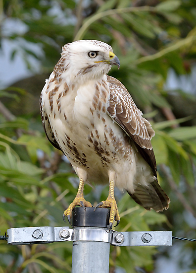 Common Buzzard - I by Peter Wiggerman
