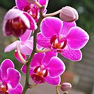 Violet Orchids  by freshairbaloon