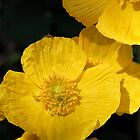 Yellow Iceland Poppy by JMcCombie