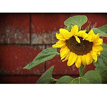 Sunflower & Shingles Photographic Print