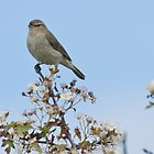 Chiffchaff on a Stick by WhyteAugust