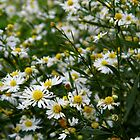 White Heath Asters On The Prairie by WildestArt