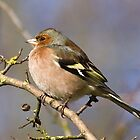 Chaffinch on a Twig by WhyteAugust
