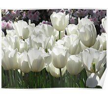 White Tulips, Simply Elegant Poster