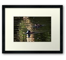 In Pursuit of a Blue-Bill Framed Print