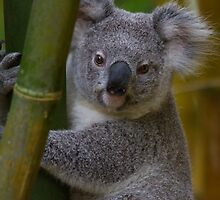 My Backyard Koala Bear by byronbackyard