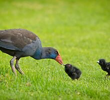Purple swamphen with chicks by Jennie  Stock