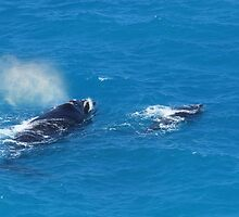 Whales at The Bight by Rosdenphoto