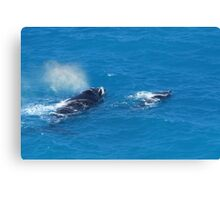 Whales at The Bight Canvas Print