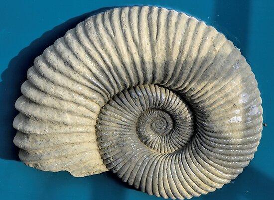 Ammonite by lynn carter