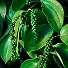 Peppercorn Plants - Far North Queensland by RichardCurzon