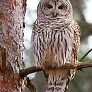 Barred Owls by Jim Cumming