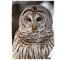 Barred Owl closeup Poster