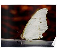 Butterfly in White Poster