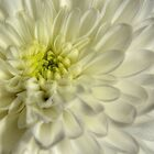 White Chrysanthemum by Sarah Couzens