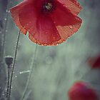 Raindrops On Poppy by martin bullimore