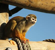 Squirrel Monkey - Yorkshire Wildlife Park by brettus1989
