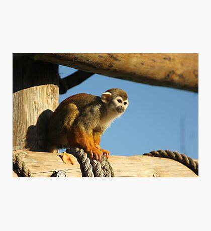 Squirrel Monkey - Yorkshire Wildlife Park Photographic Print