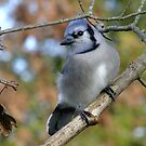 Blue Jay Bokeh by Tracy Faught