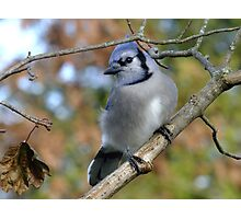 Blue Jay Bokeh Photographic Print