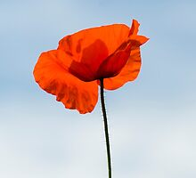 One Poppy by Anne Gilbert