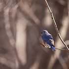 Eastern Bluebird by withacanon