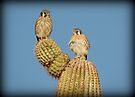 American Kestrel Pair by Kimberly Chadwick