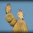 American Kestrel Pair by Kimberly Chadwick