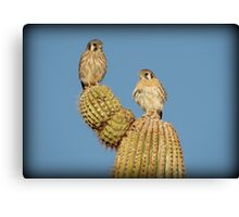 American Kestrel Pair Canvas Print