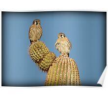 American Kestrel Pair Poster