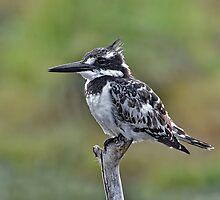 Pied Kingfisher by Macky